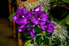 Orqu?dea p?rpura hermosa - detalle de una flor de la planta de la casa imagen de archivo