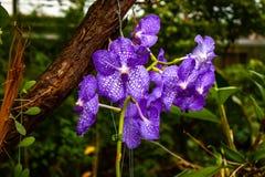 Orqu?dea p?rpura hermosa - detalle de una flor de la planta de la casa imagenes de archivo