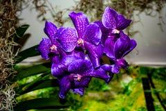 Orqu?dea p?rpura hermosa - detalle de una flor de la planta de la casa fotografía de archivo