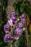 Orqu?dea p?rpura hermosa - detalle de una flor de la planta de la casa fotografía de archivo libre de regalías