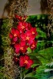 Orqu?dea roja, amarilla hermosa - detalle de una flor de la planta de la casa imagenes de archivo