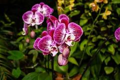 Orqu?dea rosada hermosa - detalle de una flor de la planta de la casa fotos de archivo libres de regalías