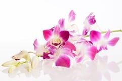 Orquídea. Aislamiento Foto de archivo libre de regalías