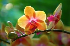 Orquídea amarilla Imágenes de archivo libres de regalías