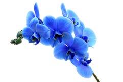 Orquídea azul de la flor Imagen de archivo libre de regalías