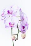 Orquídea blanca y púrpura del Phalaenopsis Imagen de archivo libre de regalías