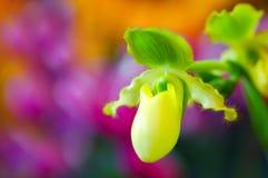 Orquídea de deslizador de señoras Imágenes de archivo libres de regalías