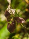 Orquídea de deslizador roja y blanca del od del flor - purpuratum del Paphiopedilum Foto de archivo libre de regalías