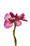 Orquídea de mariposa - papilionacea de Orchis Imágenes de archivo libres de regalías