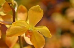 Orquídea de Vanda da flor Imagem de Stock Royalty Free