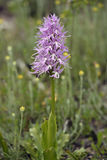 Orquídea despida do homem Foto de Stock