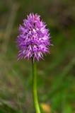 A orquídea despida do homem floresce a haste - italica de Orchis Foto de Stock