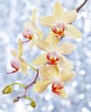 Orquídea e bokeh azul Foto de Stock Royalty Free