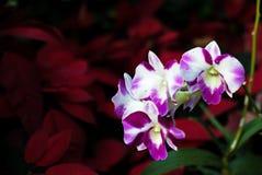 Orquídea em um jardim com luz suave Fotografia de Stock
