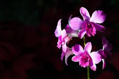 Orquídea em um jardim com luz suave Foto de Stock Royalty Free