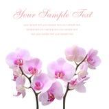 Orquídea en un fondo aislado blanco Imagen de archivo