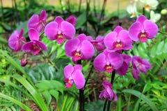 Orquídea pela cor fúcsia Imagens de Stock Royalty Free