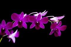 Orquídea roxa Fotografia de Stock