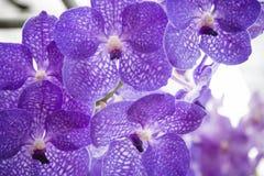 Orquídea roxa bonita Fotografia de Stock