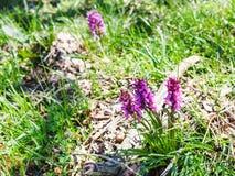 orquídea Temprano-púrpura en prado en primavera Foto de archivo libre de regalías