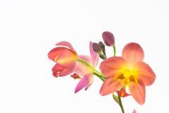 Orquídea à terra alaranjada vermelha ou orquídea de Spathoglottis Plicata Foto de Stock Royalty Free