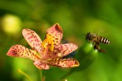 Orquídea vermelha Imagem de Stock Royalty Free