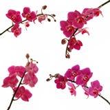 Orquídeas Imagens de Stock Royalty Free