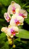 Orquídeas amarelas vibrantes Imagem de Stock Royalty Free