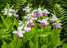 Orquídeas de deslizador da senhora Fotografia de Stock
