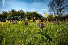 Orquídeas e prímulas Fotografia de Stock Royalty Free