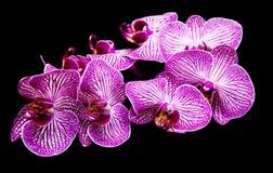 Orquídeas em um preto Imagem de Stock Royalty Free