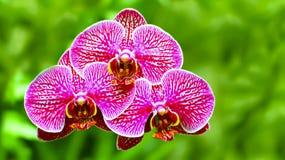 Orquídeas rosadas vibrantes Foto de archivo libre de regalías