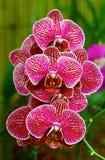 Orquídeas rosadas vibrantes Imagen de archivo libre de regalías