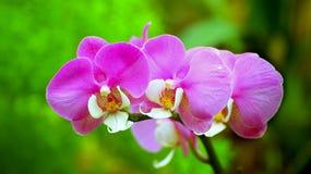 Orquídeas rosadas vibrantes Fotos de archivo libres de regalías