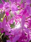 Orquídeas roxas Imagens de Stock Royalty Free