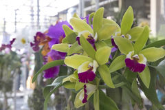 Orquídeas verdes Foto de archivo libre de regalías
