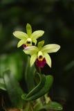 Orquídeas verdes e vermelhas Fotos de Stock Royalty Free