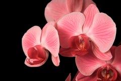 Orquídeas vermelhas Fotografia de Stock