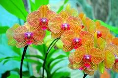 Orquídeas vibrantes Foto de archivo libre de regalías