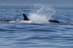 Orque apprêtant dans le San Juan Islands, WA Images libres de droits