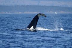 Orque apprêtant dans le San Juan Islands, WA Photographie stock libre de droits