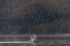Orques nageant et jouant dans le détroit de Johnstone en Colombie-Britannique images stock