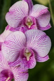 Orquid kwiaty Obrazy Stock