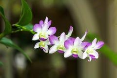 Orquid kwiaty zamykający Zdjęcia Royalty Free