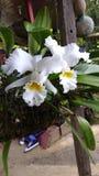 Orquidea Imagen de archivo libre de regalías