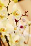Orquidea Stock Image