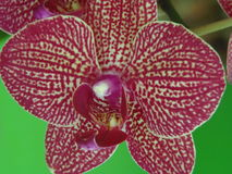 Orquidea 免版税库存照片