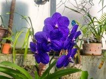 Orquidea azul muy bonita Stock Fotografie