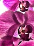 Orquidea blomma royaltyfria foton