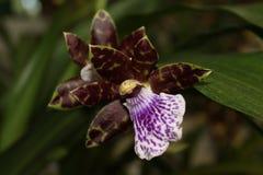 Orquidea Cattleya Aclandiae image stock